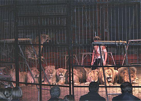 photographie de lions, lionnes, tigres, tigresses allongés, alignés, et leur dompteur