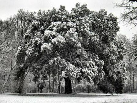 Arbre blanc du parc de Malpaga de L'Union